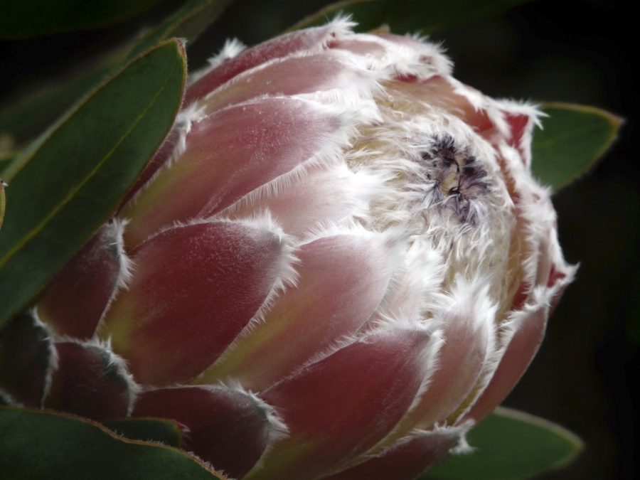 Andrew Follows. 'Protea' 2008